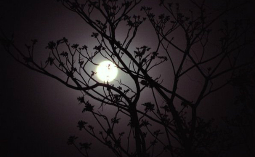 This is an image of the moon shining brightly behind a tree.